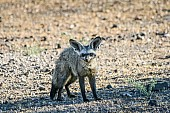 Bat-eared Fox, Three-quarter View