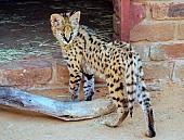 Serval Kitten in Wildlife Centre