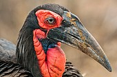 Art Reference image of Southern Ground Hornbill