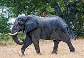Elephant Bull on the Move