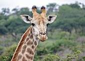 Giraffe Female Portrait