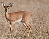Male Steenbok