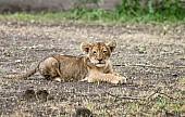 Lion Cub Lying on Tummy