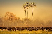 Buffalo Herd Stirring up Dust