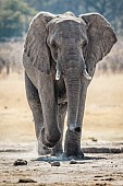 Elephant Striding to Waterhole