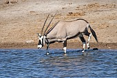 Gemsbok Stepping into Waterhole to Drink