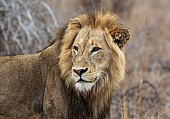 Male Lion Art Reference Photo