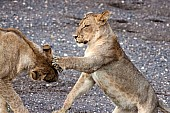 Young Lions Honing Skills