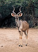 Kudu Bull Standing in Open Ground
