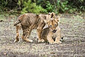 Lion Cub Nipping Sibling