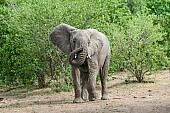 African Elephant Curling Trunk
