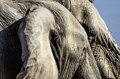 Elephant Heads, Close Up