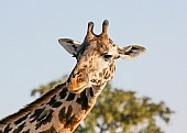 Ruaha Giraffe, Close-Up