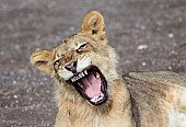 Young Lion Showing Teeth While Yawning