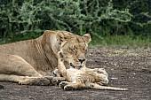 Lioness Licking Cub