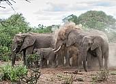 Elephant Group Dust Bathing