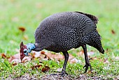Helmeted Guineafowl Foraging for Food