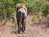 Lion Male Walking Away from Camera