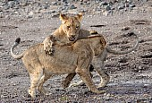 Young Lions Hone Hunting Skills
