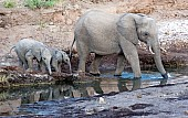 Mother Elephant and Juveniles