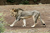Lion Male Walking, Side-On