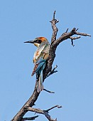 European Bee-eater, Back View