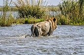 Lion in River Shallows