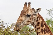 Close-up reference photo of giraffe browsing