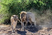 Lion Male Following Female