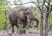 Bull Elephant Chilling