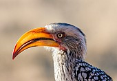 Southern Yellow-billed Hornbill Close-up, in Profile