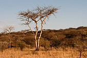 African Acacia Trees in Winter Colours