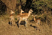 Impala Group on Forest's Edge