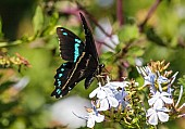 Art Reference image of Blue-banded Swallowtail Butterfly