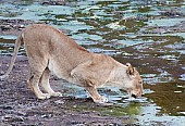 Lioness Crouching to Drink