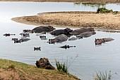 Hippopotamus, Kruger Park