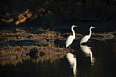 Great Egrets Reflected