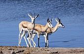 Springbok Trio at waterhole