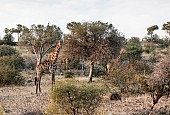 Giraffe Pair Among Trees