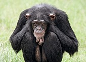 Chimpanzee on Haunches