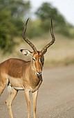 Impala Ram with Oxpecker