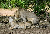Lion Male and Female Mating