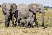 Elephant Females with Babies