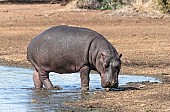 Hippo standing on water's edge