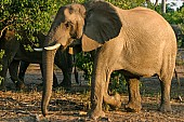 Elephant Female Side-on View