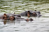 Hippo Pair Floating