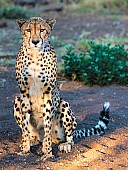 Cheetah Adult on Haunches