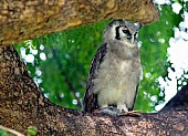 Verreaux's Eagle-Owl with Prey