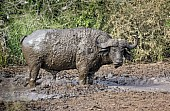 Buffalo Bull in Mud Wallow