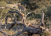 Cheetah Youngsters on Dead Tree